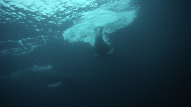 humpback whale pod swims at surface, norway - buckelwal stock-videos und b-roll-filmmaterial