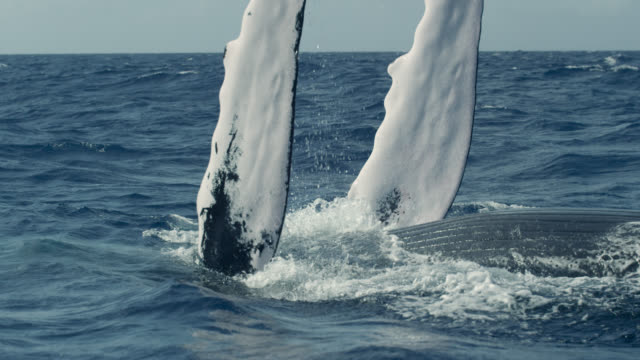 humpback whale raises flippers into air, dominican republic - humpback whale stock videos & royalty-free footage