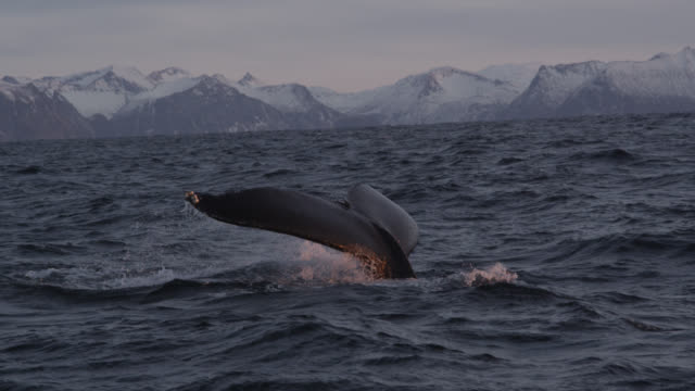 humpback whale raises flukes at sunset, norway - surfacing stock videos & royalty-free footage