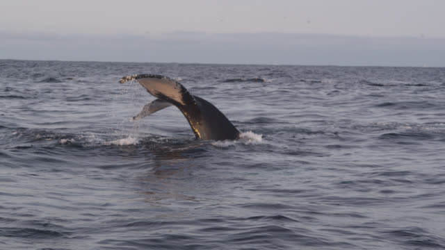 humpback whale raises flukes out of sea, norway - cetacea stock videos & royalty-free footage