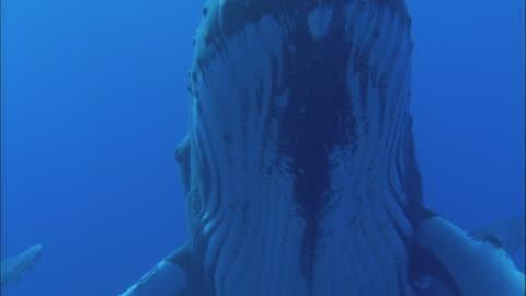 vídeos de stock e filmes b-roll de humpback whale rises in blue ocean, french polynesia, pacific - baleia de bossas