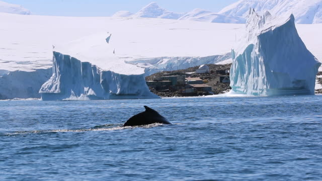 Humpback Whale shows tail fluke, icebergs in background