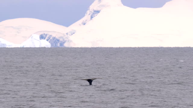 humpback whale shows the tail in antarctica - cetacea stock videos & royalty-free footage