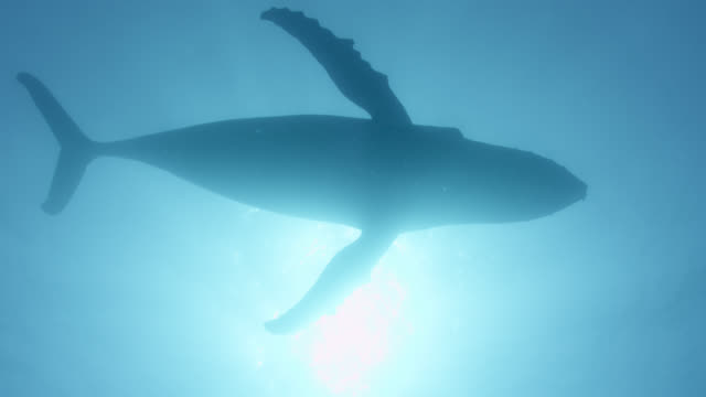 vidéos et rushes de humpback whale silhouetted against sun, dominican republic - un seul animal