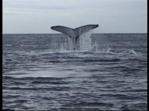 ms humpback whale (megaptera novaeangliae) slapping water surface with tail, tonga - tail fin stock videos and b-roll footage