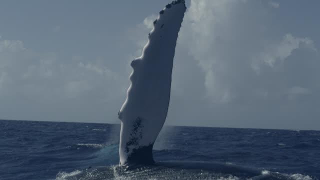 humpback whale slaps flipper into ocean, dominican republic - cetacea stock videos & royalty-free footage