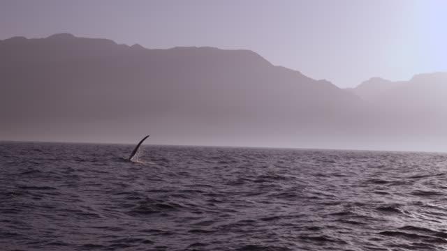 Humpback whale (Megaptera novaeangliae) slaps flipper on surface of Arabian sea, Oman