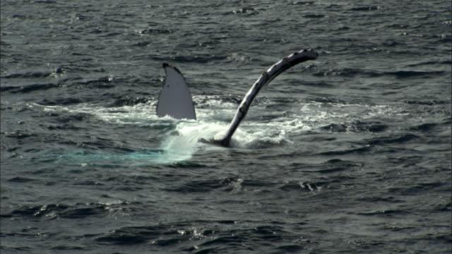 Humpback whale (Megaptera novaeangliae) slaps flipper onto water, Tonga