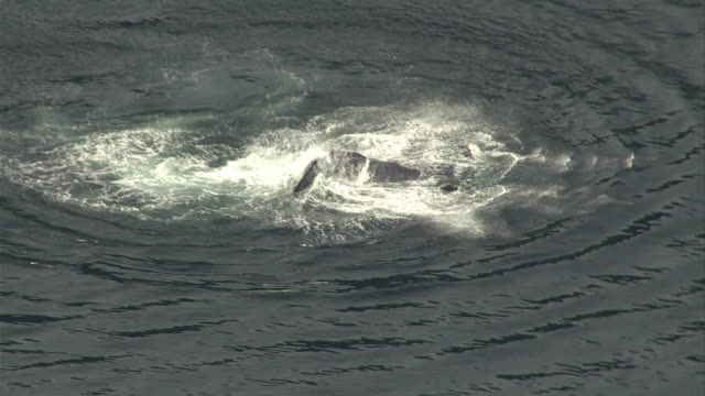 a humpback whale slaps its tail fluke on the surface of the ocean. available in hd. - cetaceo video stock e b–roll