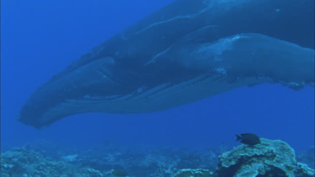 vídeos de stock, filmes e b-roll de humpback whale sleeps above coral reef, french polynesia, pacific - um animal