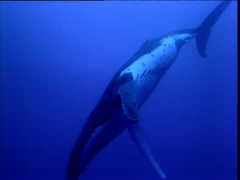 humpback whale slowly swims past camera, french polynesia - french overseas territory stock videos & royalty-free footage