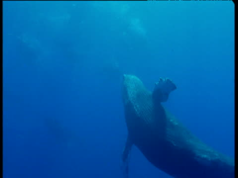 Humpback whale spins and wafts flukes in direction of camera as it swims away, Hawaii