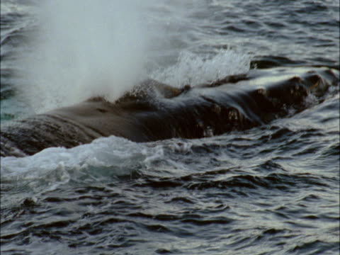 a humpback whale spouts at the ocean's surface. - cetacea stock videos & royalty-free footage