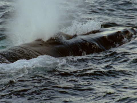 vídeos y material grabado en eventos de stock de a humpback whale spouts at the ocean's surface. - cetáceo