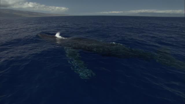 vídeos de stock, filmes e b-roll de a humpback whale spouts when it surfaces. available in hd. - espiráculo
