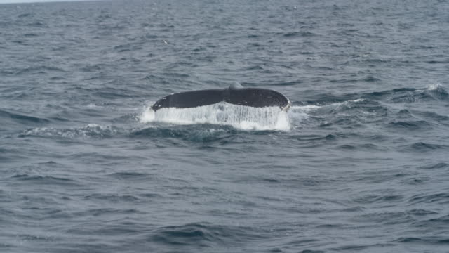 Humpback whale spraying water out it's blow hole, then diving to reveal it's huge tail fluke.