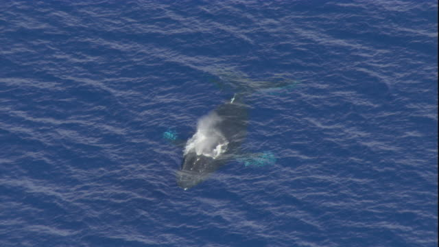 A humpback whale sprays water from its blowhole in the Pacific Ocean near Hawaii. Available in HD.