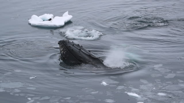 Humpback Whale spyhopping in Antarctica