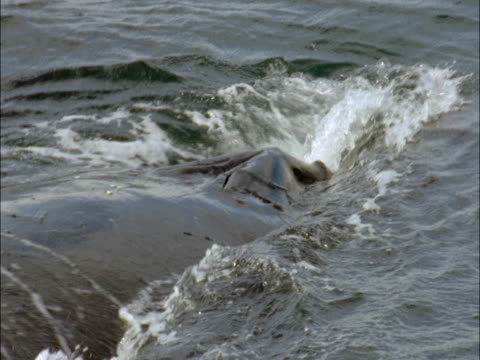 a humpback whale submerges in the ocean in antarctica. - blåshål djurkroppsdel bildbanksvideor och videomaterial från bakom kulisserna