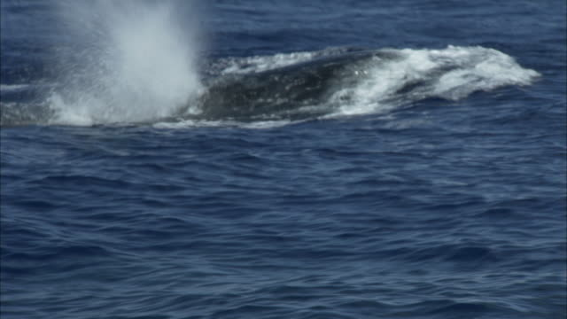 stockvideo's en b-roll-footage met a humpback whale surfaces and blows water on a rocky coastline. - spuitgat