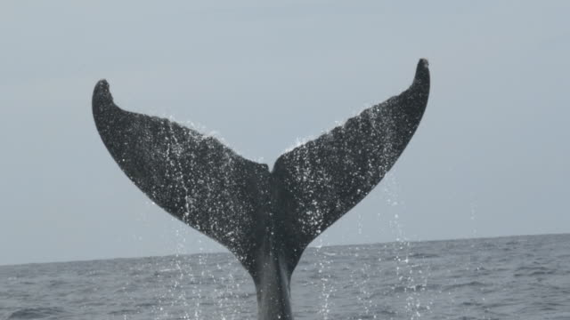 a humpback whale surfaces and splashes its flukes on the ocean. - cetacea stock videos & royalty-free footage