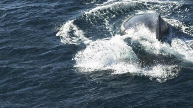 cu humpback whale surfaces and splashes tail  - tail fin stock videos and b-roll footage