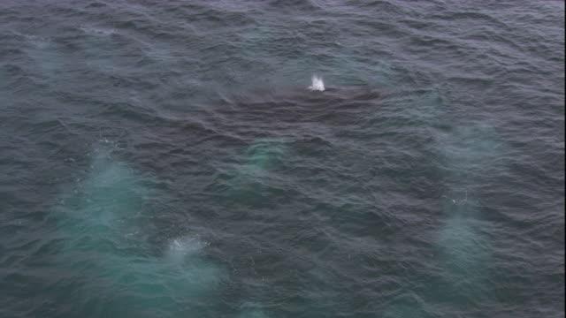 vidéos et rushes de a humpback whale surfaces and spouts. available in hd. - remonter à la surface