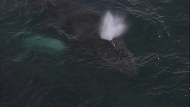 a humpback whale surfaces and spouts. available in hd. - cetacea stock videos & royalty-free footage
