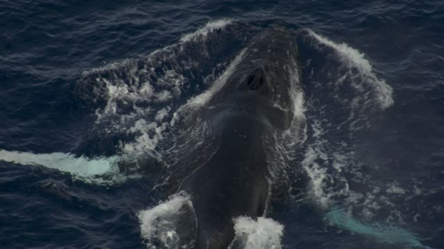 humpback whale surfaces and spouts in ocean, hawaii - buckelwal stock-videos und b-roll-filmmaterial