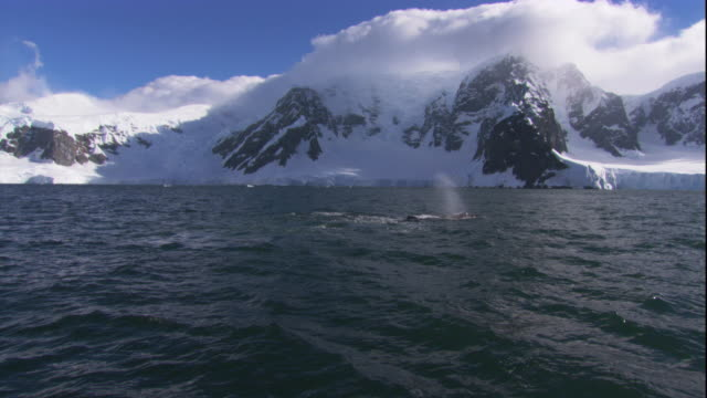 a humpback whale surfaces and spouts off the snowy, mountainous coast of antarctica. available in hd. - cetacea stock videos & royalty-free footage