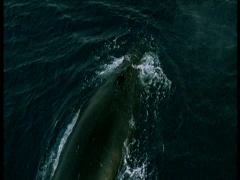 stockvideo's en b-roll-footage met humpback whale surfaces, antarctica - cetacea