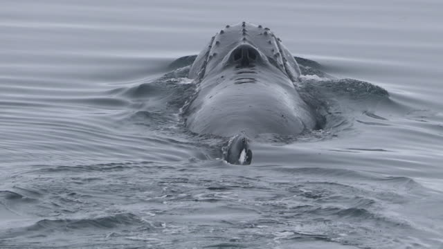 Humpback Whale surfaces away from camera, good view of blowhole