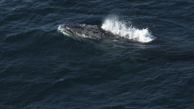 cu humpback whale surfaces blows and dives with tail visible tu to second whale  - tail fluke stock videos & royalty-free footage