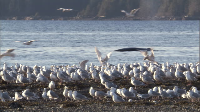 a humpback whale surfaces near a gull covered beach. available in hd. - sea water bird stock videos & royalty-free footage
