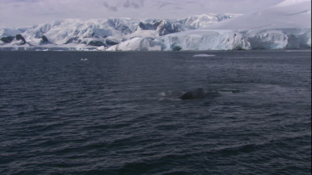 a humpback whale surfaces near antarctica's icy coast. available in hd. - cetacea stock videos & royalty-free footage