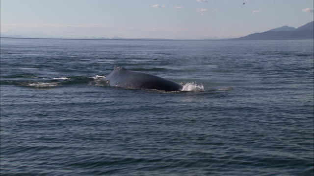 a humpback whale surfaces, spouts and dives. - wal stock-videos und b-roll-filmmaterial