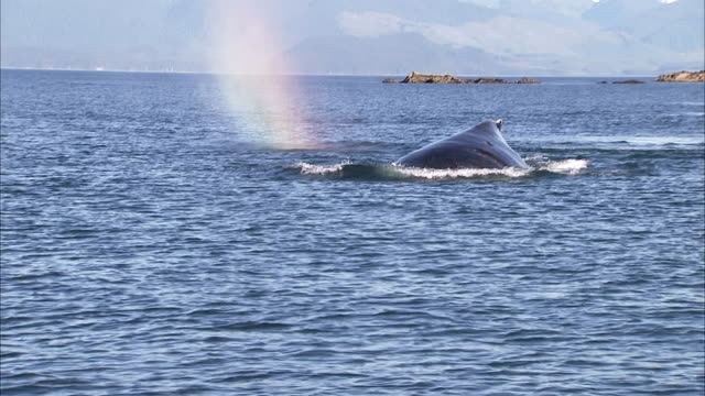 a humpback whale surfaces then dives. - animal fin stock videos & royalty-free footage
