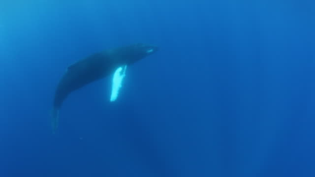 humpback whale surfaces, underwater pov - humpback whale stock videos & royalty-free footage