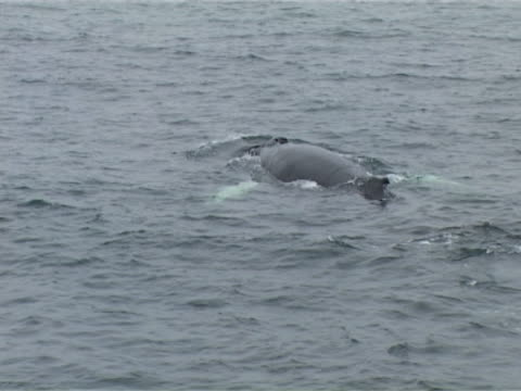 Humpback whale surfacing and diving