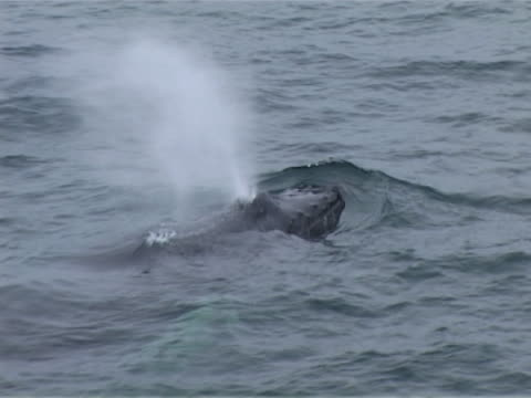humpback whale surfacing close to camera - lymphsystem stock-videos und b-roll-filmmaterial