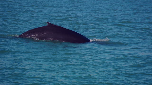 humpback whale (megaptera novaeangliae) surfacing, iceland, n atlantic - animal fin stock videos & royalty-free footage