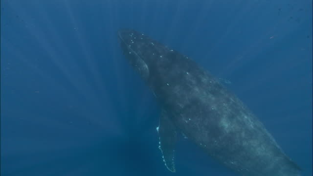 humpback whale (megaptera novaeangliae) suspended in water / tonga, south pacific - 一隻動物 個影片檔及 b 捲影像