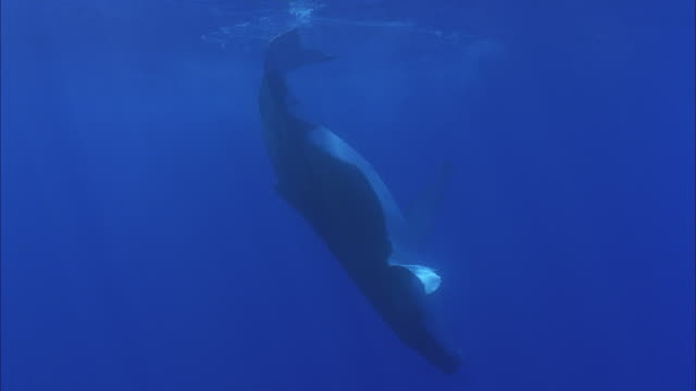 stockvideo's en b-roll-footage met slo mo ms humpback whale (megaptera novaeangliae) swimming at ocean surface / moorea, tahiti, french polynesia - french overseas territory