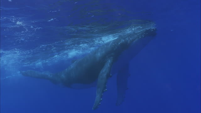 SLO MO MS Humpback whale (Megaptera novaeangliae) swimming at ocean surface / Moorea, Tahiti, French Polynesia