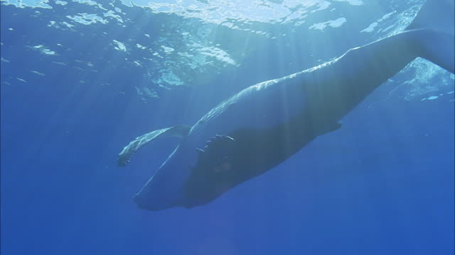 SLO MO MS LA Humpback whale (Megaptera novaeangliae) swimming at ocean surface / Moorea, Tahiti, French Polynesia