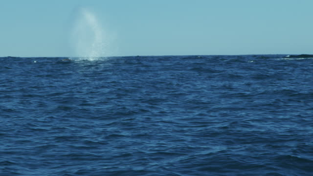 Humpback whale swimming blowhole Monterey Pacific Ocean USA
