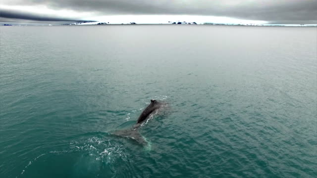 humpback whale swimming in antarctic ocean - antarctica whale stock videos & royalty-free footage