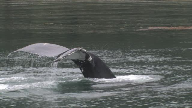 cu, humpback whale (megaptera novaeangliae) swimming in glacier bay, glacier bay national park and preserve, alaska, usa - lobtailing stock videos & royalty-free footage