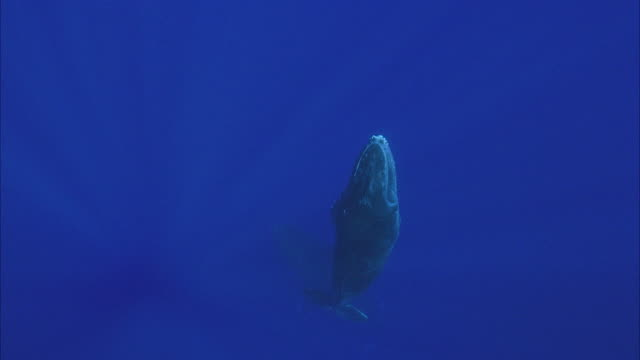 SLO MO WS MS Humpback whale (Megaptera novaeangliae) swimming in ocean / Moorea, Tahiti, French Polynesia