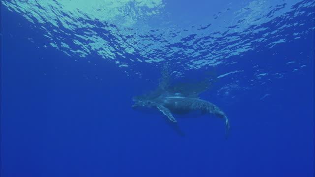 slo mo ws humpback whale (megaptera novaeangliae) swimming in ocean / moorea, tahiti, french polynesia - tahiti stock videos & royalty-free footage